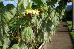 sunflower-powdery-mildew-and-chinese-rose-beetle-feeding-injury_11376205983_o