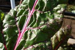 swiss-chard-leaf-spots_11421361006_o
