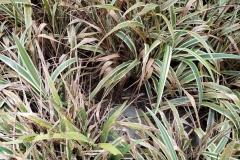 variegated-flax-lily-vairegata-dianella-tasmanica-leaf-spot-leaf-blight_40629271405_o