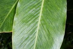 banana-bract-mosaic-virus-infecting-red-ginger_27834194926_o
