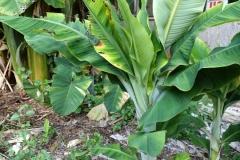 banana-bunchy-top_22363898348_o