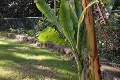 banana-bunchy-top_22486161669_o