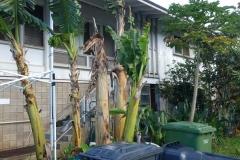banana-bunchy-top_23339836774_o