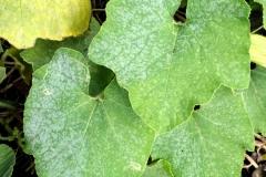 cucurbit-powdery-mildew_23708977472_o