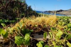 cuscuta-sandwichiana-endemic-hawaiian-dodder_36562329344_o