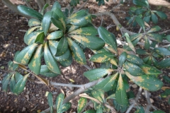 japanese-pittosporum-cercospora-leaf-spot_36613121012_o