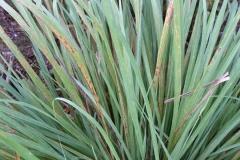 lemongrass-rust_22438131319_o