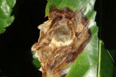 panax-polyscias-guilfoylei-bacterial-leaf-blight_36241773113_o