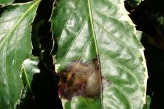 panax-polyscias-guilfoylei-bacterial-leaf-blight_36241773533_o