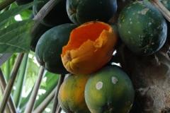 papaya-carica-papaya-birds-feeding-injury_36403273286_o