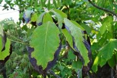 tabebuia-rosea-pink-poui-rosy-trumpet-tree-potassium-k-deficiency_36357209233_o