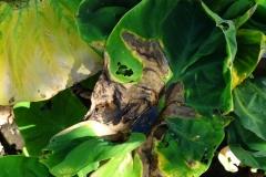 taro-colocasia-esculenta-leaf-blight_35064350944_o