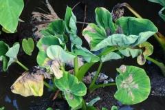 taro-colocasia-esculenta-leaf-blight_35355229543_o