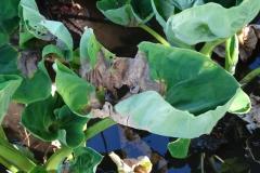 taro-colocasia-esculenta-leaf-blight_36219332001_o
