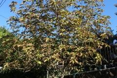 avocado-persea-americana-potassium-k-deficiency_24416095212_o