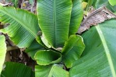banana-bunchy-top_26772380743_o