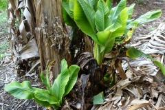 banana-bunchy-top_26772381453_o