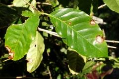 coffee-coffea-arabica-cercospora-leaf-spot_23836286134_o