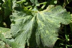 cucurbit-leaf-mosaic_25817458325_o