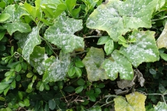ivy-gourd-powdery-mildew_24997141044_o