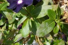 jams-n-jellies-blackberry-vinca-catharanthus-roseus-powdery-mildew_32524844415_o