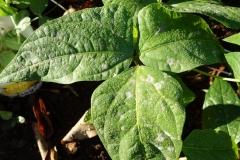 long-bean-powdery-mildew_25195259309_o