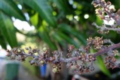 mango-powdery-mildew_26507693205_o