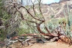 mesquite-keawe-toppled-by-strong-winds_25141314583_o