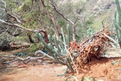 mesquite-keawe-toppled-by-strong-winds_25767901365_o