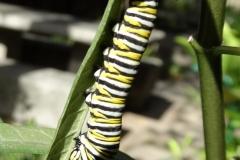monarch-butterfly-larva_26338136712_o