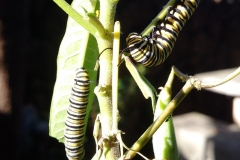 monarch-butterfly-larvae_26157305540_o