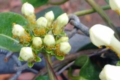 oleander-aphids-aphis-nerii-on-stephanotis_26035297384_o