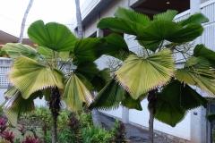 palms-potassium-k-and-nitrogen-n-deficiencies_24954463051_o