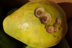 papaya-carica-papaya-anthracnose_24560999576_o