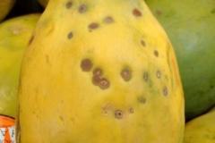 papaya-carica-papaya-fruit-spots_26704922414_o