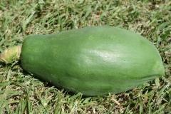 papaya-carica-papaya-ringspot_24385999205_o