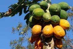 papaya-finch-feeding-injury-to-fruits_25917035051_o
