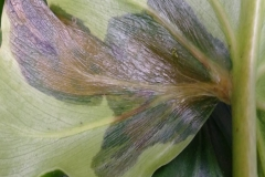 philodendron-poss-bacterial-leaf-blight-xanthomonas-campestris_25988801455_o