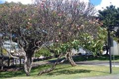 photoperiod-effect-of-street-lamp-on-plumeria-foliage-stimulates-premature-leaf-growth_26371329160_o