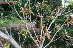pittosporum-tobira-japanese-pittosporum-branch-dieback_26771913844_o