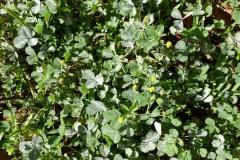 poss-medicago-lupulina-powdery-mildew_27167806506_o