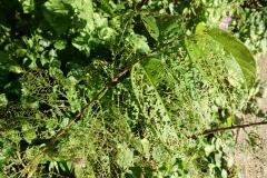 skeletonized-leaves-aka-windowing_24524473645_o