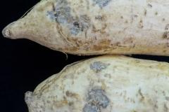 sweetpotato-ipomoea-batatas-black-rot_24331631554_o