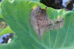 taro-colocasia-esculenta-leaf-blight_24461596061_o