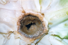 heart-rot-of-cabbage-caused-by-calcium-deficiency_9735571777_o