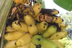 rats-feeding-injury-to-plants-and-crops-in-hawaii-photo-angela-kay-kepler_8949798075_o