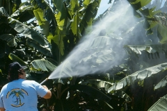 spraying-pesticides-on-bananas-in-the-1980s_9159665647_o