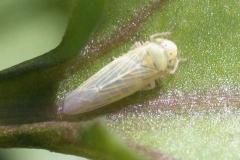 vector-of-watercress-yellows-phytoplasma_8250881598_o