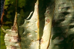yam-dioscorea-sp-rust-in-pohnpei-caused-by-goplana-dioscoreae-circa-1999_9805111776_o