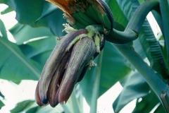 1_cucumber_mosaic_banana_inflorescence_1-2_8245612368_o